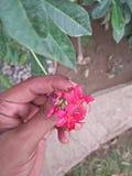 IXORA COCCINEA KWIATONOŚNE rośliny zdjęcia royalty free
