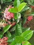 IXORA COCCINEA KWIATONOŚNE rośliny zdjęcie royalty free
