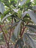 IXORA COCCINEA KWIATONOŚNE rośliny obraz stock