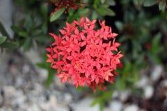 Ixora coccinea kwiatu wielki grono Fotografia Royalty Free
