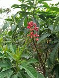 IXORA COCCINEA L , Nome comune; IXORA rosso, geranio della giungla; fiamma del legno fotografia stock