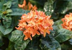Ixora coccinea in orange color Stock Photography