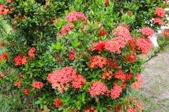 Ixora coccinea  Red flower, Rubiaceae flower, Stock Image