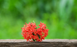 Ixora coccinea Royalty Free Stock Photography
