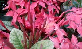 Ixora coccinea& x28; Rongon Flower& x29; Arkivfoton