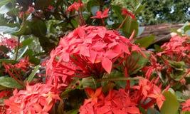 Ixora coccinea& x28; Rongon Flower& x29; Royaltyfri Foto