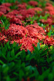 Ixora-coccinea selektiver Fokus tropischer Blume Lizenzfreie Stockbilder