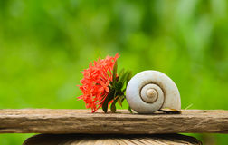 Ixora coccinea and shell snail Stock Photography