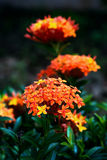 Ixora coccinea tropical flower Trinidad and Tobago gardening Royalty Free Stock Photography
