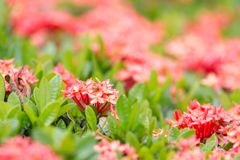 West Indian Jasmine flower flower blossom in a garden. red spike flower. King Ixora blooming-image 03 royalty free stock photography