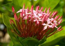 Ixora cor-de-rosa Fotografia de Stock