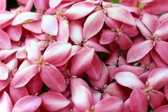 Ixora cor-de-rosa imagem de stock