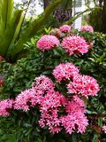 Ixora de floraison rose Photos stock