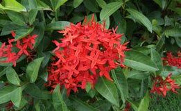 Ixora est un genre des usines fleurissantes dans la famille de Rubiaceae Photo stock