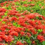Ixora est un genre des usines fleurissantes dans la famille de Rubiaceae Photos stock