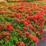 Ixora est un genre des usines fleurissantes dans la famille de Rubiaceae Photographie stock