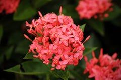 Ixora est un genre des usines fleurissantes dans la famille de Rubiaceae Images stock
