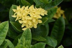 Ixora florece contra un fondo de hojas coriáceas grandes Foto de archivo