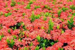 Ixora flower royalty free stock images