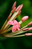 Ixora Flower. Macro shot Stock Image
