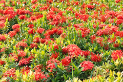 Free Ixora Flower Royalty Free Stock Photo - 39645125