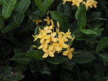 Ixora flower. Royalty Free Stock Photography