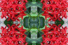 Ixora flower beautiful seamless concept  pattern for background. Ixora flower beautiful seamless concept pattern for backgrounds Royalty Free Stock Image