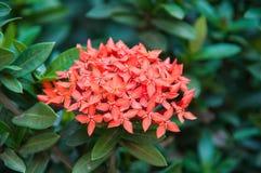 Ixora flower Royalty Free Stock Photo