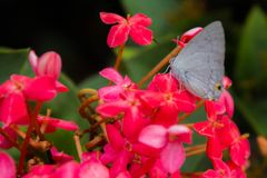 Ixora flower and butterfly. Butterfly on the flower Ixora Stock Photo