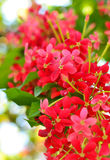 Ixora flower close up Royalty Free Stock Photography