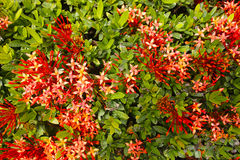 Ixora flower Royalty Free Stock Image