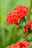 Ixora flower Stock Image