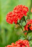 Ixora flower Stock Image
