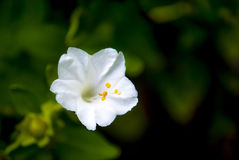 White flower. Fresh white flower in garden Royalty Free Stock Image