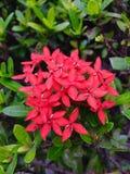 Ixora. Flower in graden Royalty Free Stock Photo