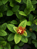 Ixora flower with green leaf Royalty Free Stock Photography