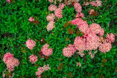 Ixora flower with green leaf. Ixora flower with green leaf on nature backgrounds royalty free stock photo