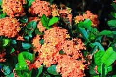 Ixora flower Stock Photos