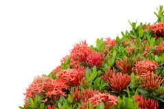 Ixora  flower Royalty Free Stock Photography