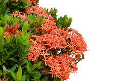 Ixora  flower Stock Images