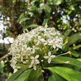 Ixora. Flower is perfect one Stock Photography