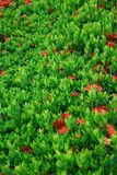 Ixora flower. They are red ixora flower.it plant in thai style garden Royalty Free Stock Image