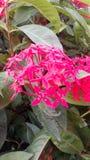 Ixora flower, Rubiaceae flower. Red ixora flower Stock Photography