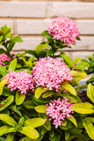 Ixora flower Royalty Free Stock Photo