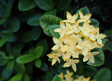 Ixora Flower, Spike Flower, Yellow Color, Top view. Ixora Flower, Spike Flower, Yellow Color, Top view Stock Photos