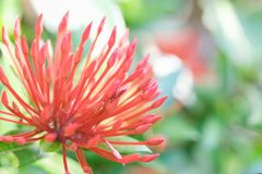 Ixora flower or spike flowers  blooming in the garden. Ixora flower or red  spike flowers  blooming in the garden. Nature background Stock Photo