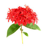 Ixora flower on white Royalty Free Stock Images