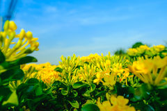 Ixora flower or Yellow spike flower blooming in garden Royalty Free Stock Photo