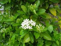 Ixora flowers begin bloom. Nature garden stock image