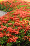 Ixora flowers in the garden. Ixora flowers in the nature Stock Photos